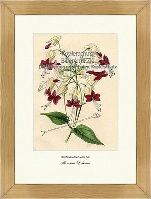 Thomsons Losbaum Clerodendron Thomsonae Lippenblütler Losstrauch Vilmorin A4 379