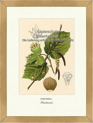 Haselstrauch Corylus Avellana Haselnussgewächse Betulaceae Vilmorin A3 388