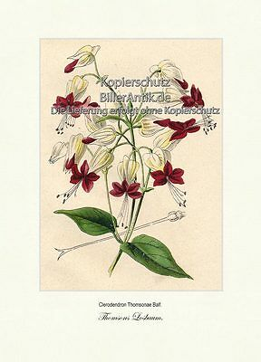 Thomsons Losbaum Clerodendron Thomsonae Lippenblütler Losstrauch Vilmorin A3 379