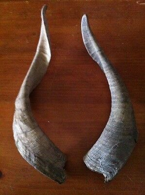 Pair Of Goat horns ram ? country outdoors rustic Western Taxidermy
