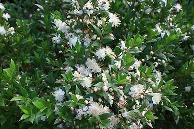 Myrtus communis Myrtle (Sent in a 9cm Pot)