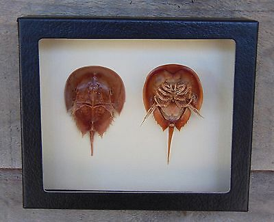 H3) Real Taxidermy HORSESHOE CRAB Anatomy - Limulus, Dorsal & Ventral views USA