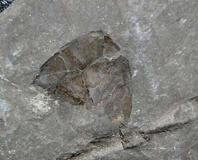 Rare primitive Devonian fossil fish
