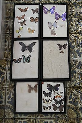 Large Collection of Vintage Butterfly Specimen Taxidermy Display 1930's