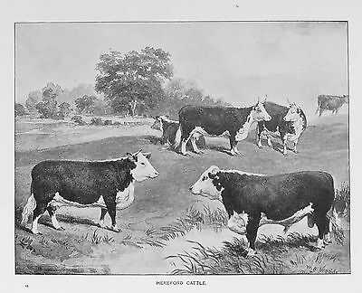 OLD ANTIQUE PRINT HEREFORD CATTLE  BULLS COWS c1880's FARMING LIVESTOCK