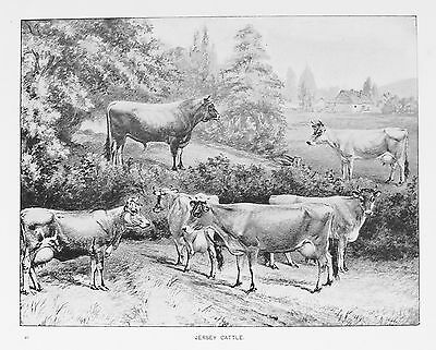 OLD ANTIQUE PRINT JERSEY CATTLE BULLS COWS c1880's FARMING LIVESTOCK