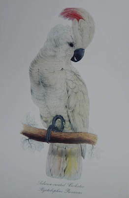 Salmon Crested Cockatoo By Edward Lear Vintage art