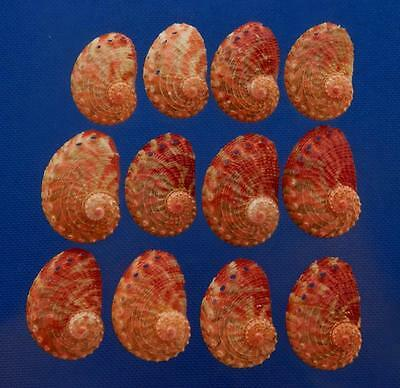 B626 Sailors Valentine Craft shells - Haliotis clathrata, 12 pcs