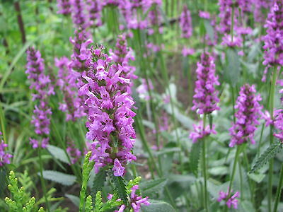 Wild Flower Betony Stachys Officinalis 1.5 Gram Approx 1050 Seeds