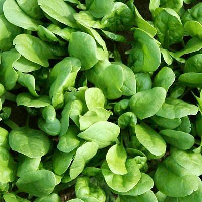 Vegetable  Spinach Amazon F1  1000 Seeds  Baby Leaf Or Mature