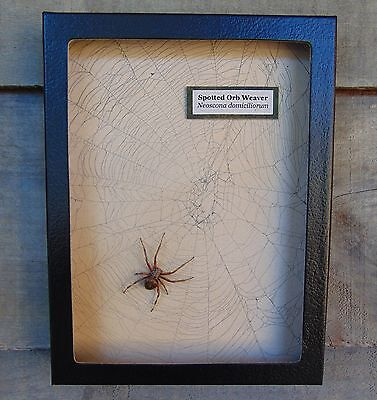 N3) Real Spotted Orb Weaver Spider on actual Web framed shadowbox taxidermy USA