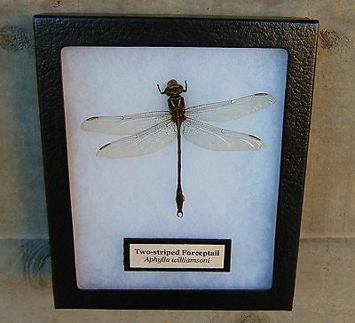 E501) Real TW0-STRIPED FORCEPTAIL DRAGONFLY 5X6 Framed butterfly insect bugs USA