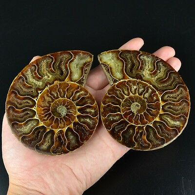L12247 A pair Ammonite ammolite UNIQUE Natural fossil decoration 213g