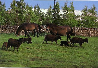 Cotswold Farm Park - Exmoor Ponies & Soay Sheep - Postcard View