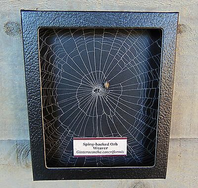 E533 Real Spiny-backed Orb Weaver Spider w actual Web framed shadowbox taxidermy