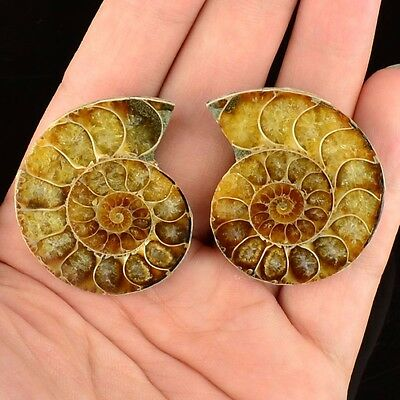 L13288 A pair Ammonite Ammolite UNIQUE Natural Fossil Decoration 31g