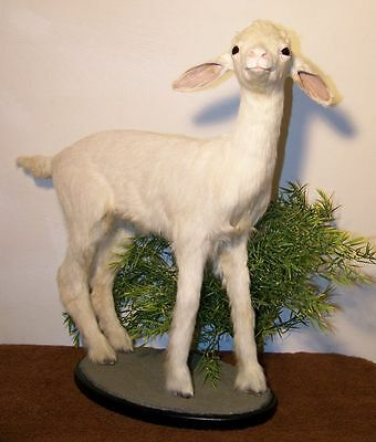 BABY GOAT KID Taxidermy Mount No horns or antlers NEW #17