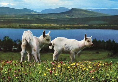 postcard of TWO WHITE KID GOATS