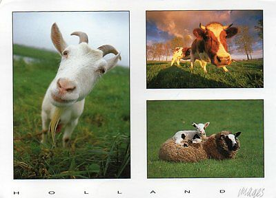 postcard of GOAT COW & SHEEP HOLLAND