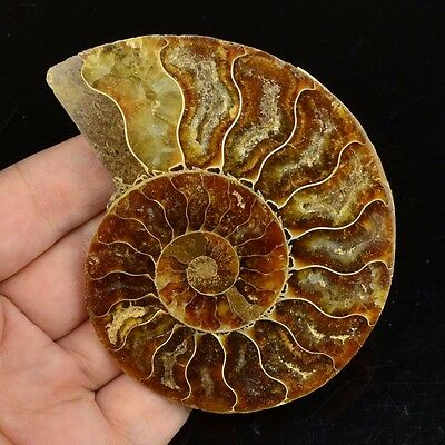 L21526 Ammonite Ammolite UNIQUE Natural Fossil Decoration 77g