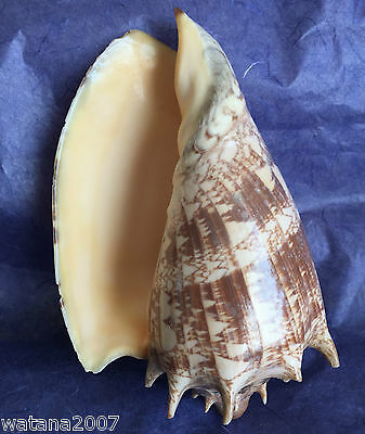 """Conch  Shell  Sea Shell    6"""" X 4"""" X 3""""    Natural !!!  Used."""