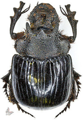 Heliocopris neptunoides, 38mm, MOUNTED