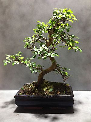 Chinese Elm Bonsai Tree Approx 20 Years Old Oriental Plant Fengshui #37