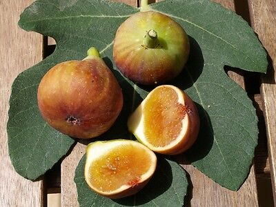 """1 LIVE FIG TREE Plant """"MADELEINE""""  Rooted Cutting 1 year old from France"""