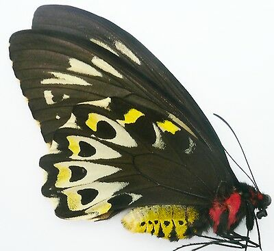 Ornithoptera Priamus Richmondia Female From Australia