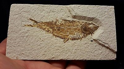 "Awesome 4.5"" FISH FOSSIL (Knightia) Green River Formation, Kemmerer,  Wyoming"