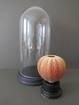 Vintage Large Sea Urchin Shell Seashell Taxidermy in Glass Display Dome