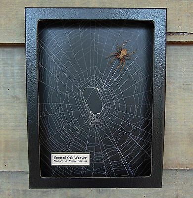 N4) Real Spotted Orb Weaver Spider on actual Web framed shadowbox taxidermy USA
