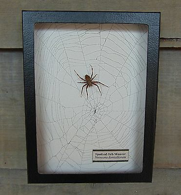 N1) Real Spotted Orb Weaver Spider on actual Web framed shadowbox taxidermy USA