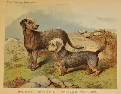 C1890 Chromolithograph  Illustrated Book of the Dog Cassell ~ Bedlington Terrier