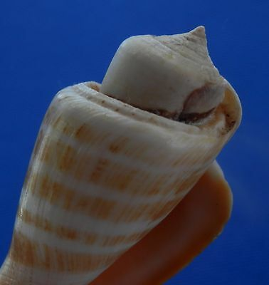 B355-63466 Seashell Strombus luhuanus, 54.6 mm FREAK