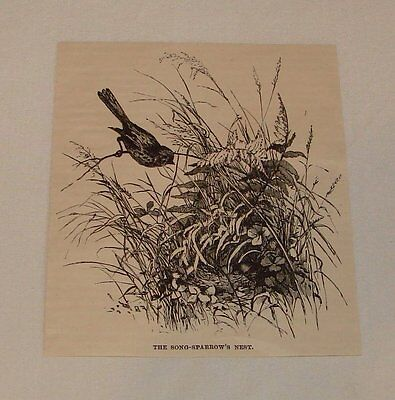 1887 magazine engraving ~ SONG-SPARROW'S NEST