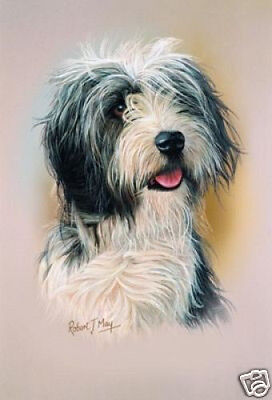 Robert J. May Head Study - Bearded Collie (RMDH015)
