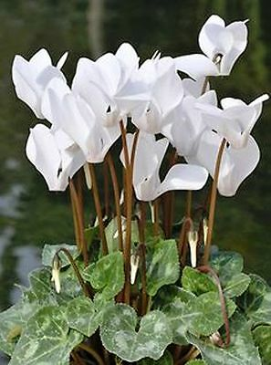 Cyclamen - White - House Plant - 200 Quality Flower Seeds - Large Value Pack
