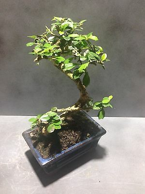 Chinese Carmona Macrophylla Bonsai Tree Approx 10 Years Old Oriental Plant #73