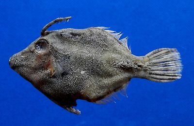 B298-62374 Matted Filefish - Acreichthys tomentosus, 70 mm, Freeze Dried