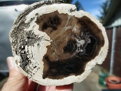 RFM - McDermitt PETRIFIED WOOD LOG Full Round Fossil Tree - OLD Surface Find
