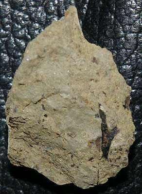 Cooksonia  - Extremely rare oldest fossil land plant