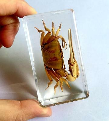 Attractive Vintage Real Crab Specimen In Clear Paperweight