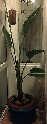 LARGE LAVENDER BANANA TREE ORNAMENTAL HOUSE PLANT WITH CERAMIC POT 8ft TALL