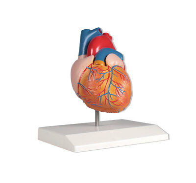Heart Model, Anatomical Model Cardiology, 2 Parts