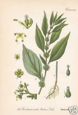 Parietaria erecta - Glaskraut THOME Litho 1886