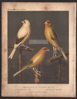 Birds - Goldfinch and Canary Mule Original 1880 Chromolithograph