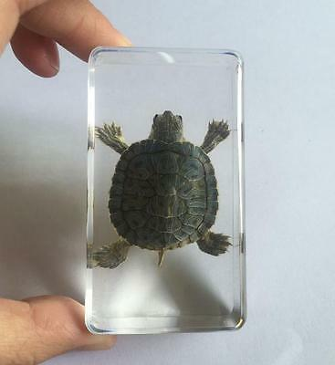 T-01 Vintage real tortoise Insect in acrylic paperweight Fashion Crafts