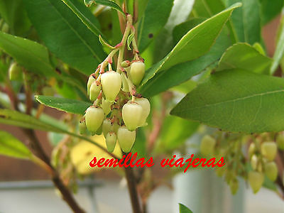 Madroño, Arbutus unedo 50 semillas, Strawberry Tree seeds , Erdbeerbaum samen