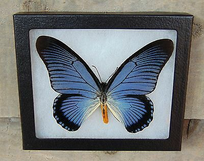 E539 Real GIANT BLUE SWALLOWTAIL Papilio zalmoxis 5X6 Framed butterfly Taxidermy